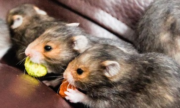 Syrian Hamster Care, Facts, Colors, Life Span - Shorthair
