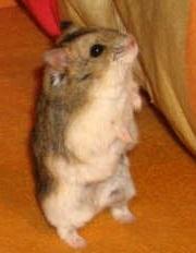 Campbells Dwarf Hamster