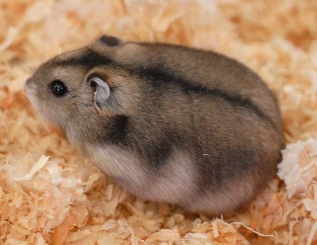 russian dwarf hamster facts care campbell hamsters