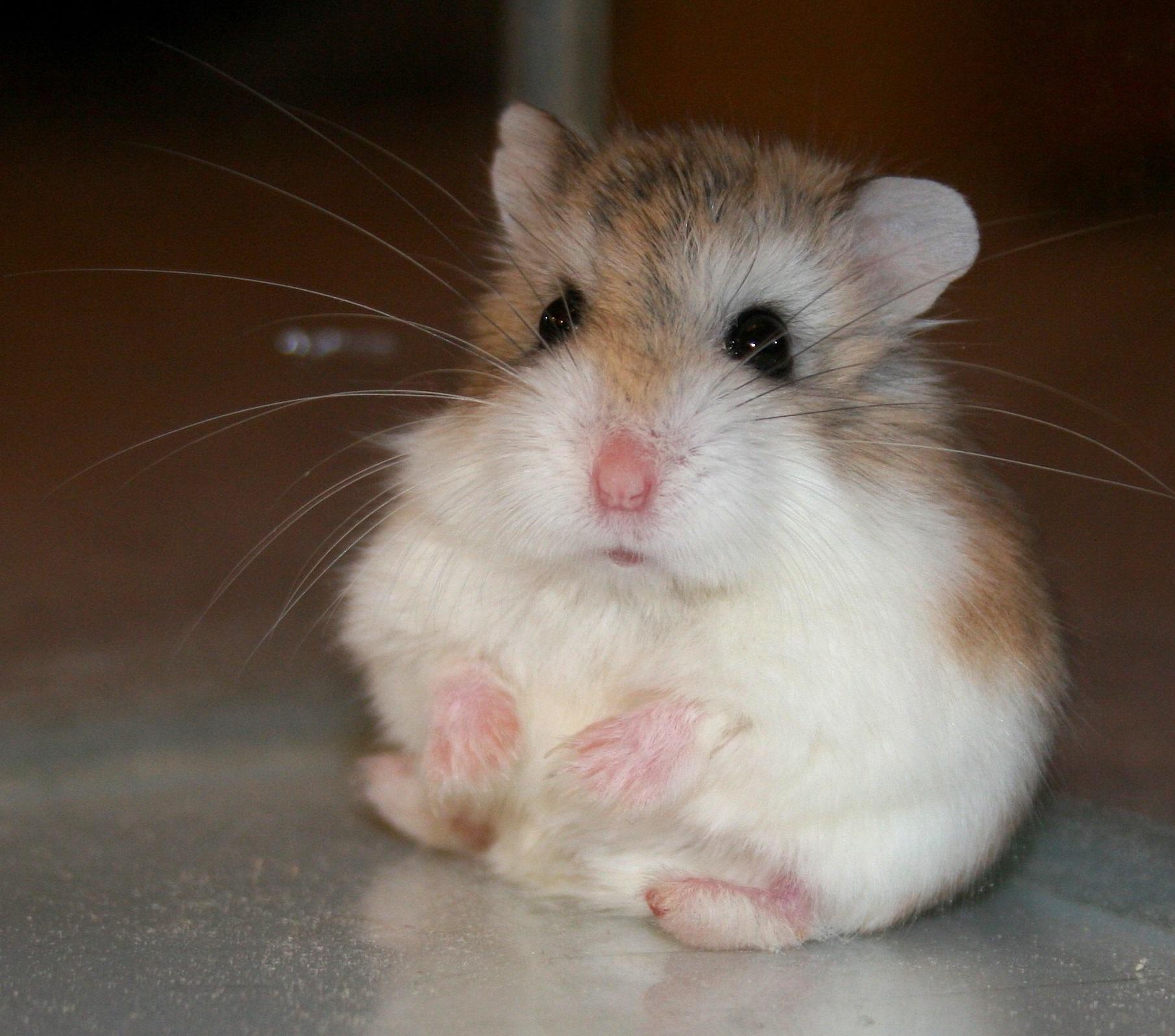 Why Do Dwarf Hamsters Bite - DwarfHamsterHome com