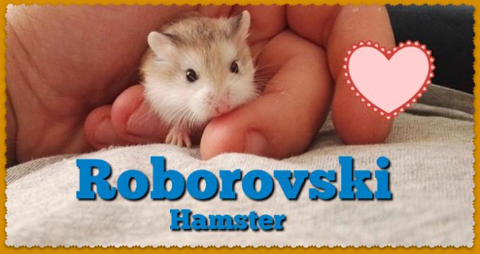 robo dwarf hamsters