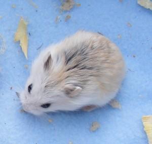 white face roborovski hamster