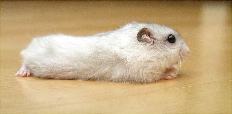 I bought my dwarf hamster pine bedding??