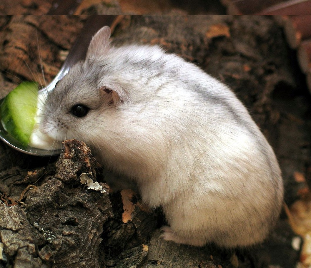 Images of Winter White Dwarf Hamsters Information - #SpaceHero