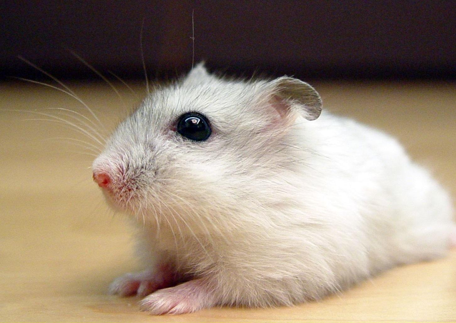 Djungarian hamster - Wikipedia