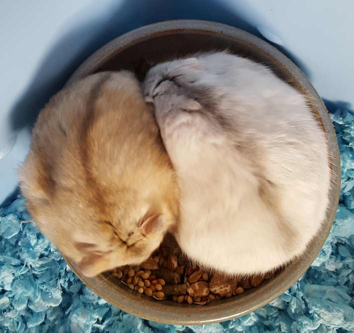 Introducing Two Dwarf Hamsters - DwarfHamsterHome com