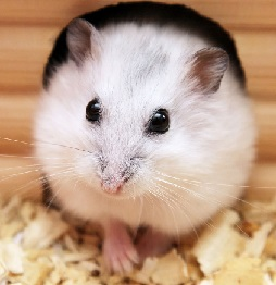 winter white dwarf hamster care amp facts djungarian