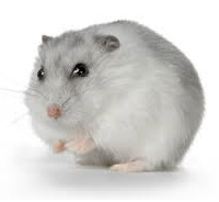 winter-white-hamster