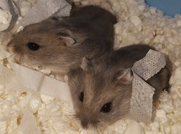 Winter White Dwarf Hamsters