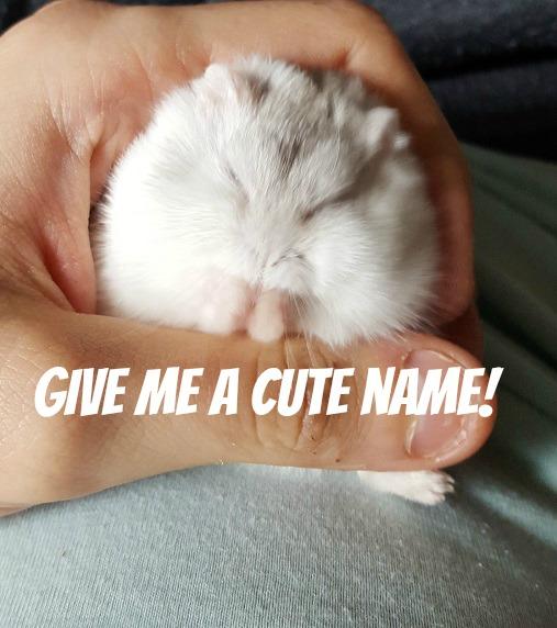 dwarf hamster name