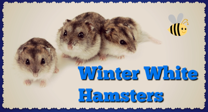 winter-white-hamsters