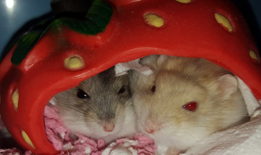 Dwarf Hamster Care Roborovski Russian Amp Chinese Hamsters