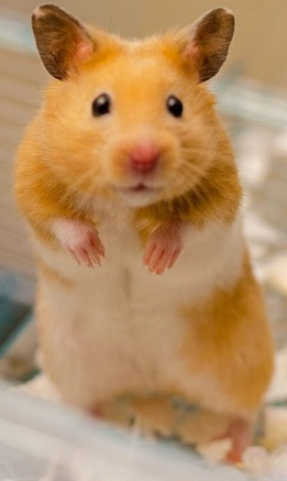Long Haired Hamster Colors 106