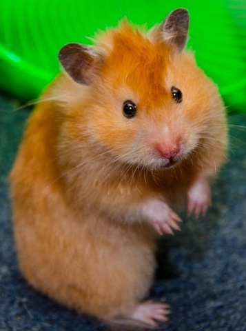 Long Haired Hamster Colors 56