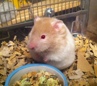 Long Haired Hamster Colors 30